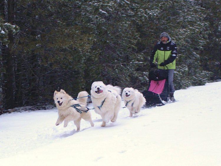 chiens de traîneau et traîneau en laponie